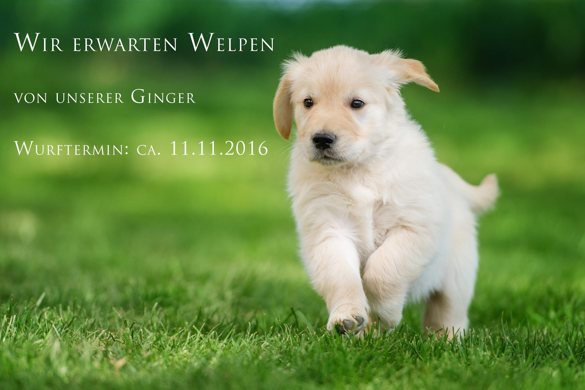 http://goldenretriever-vom-gaelmacker.de/wp-content/uploads/2016/10/DSC_5932-Kopie.png