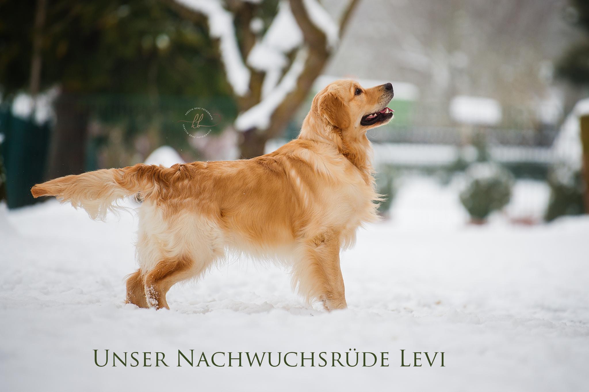 http://goldenretriever-vom-gaelmacker.de/wp-content/uploads/2018/02/Levi-8273-2018-02-09-KerstinBenz-Kopie.jpg